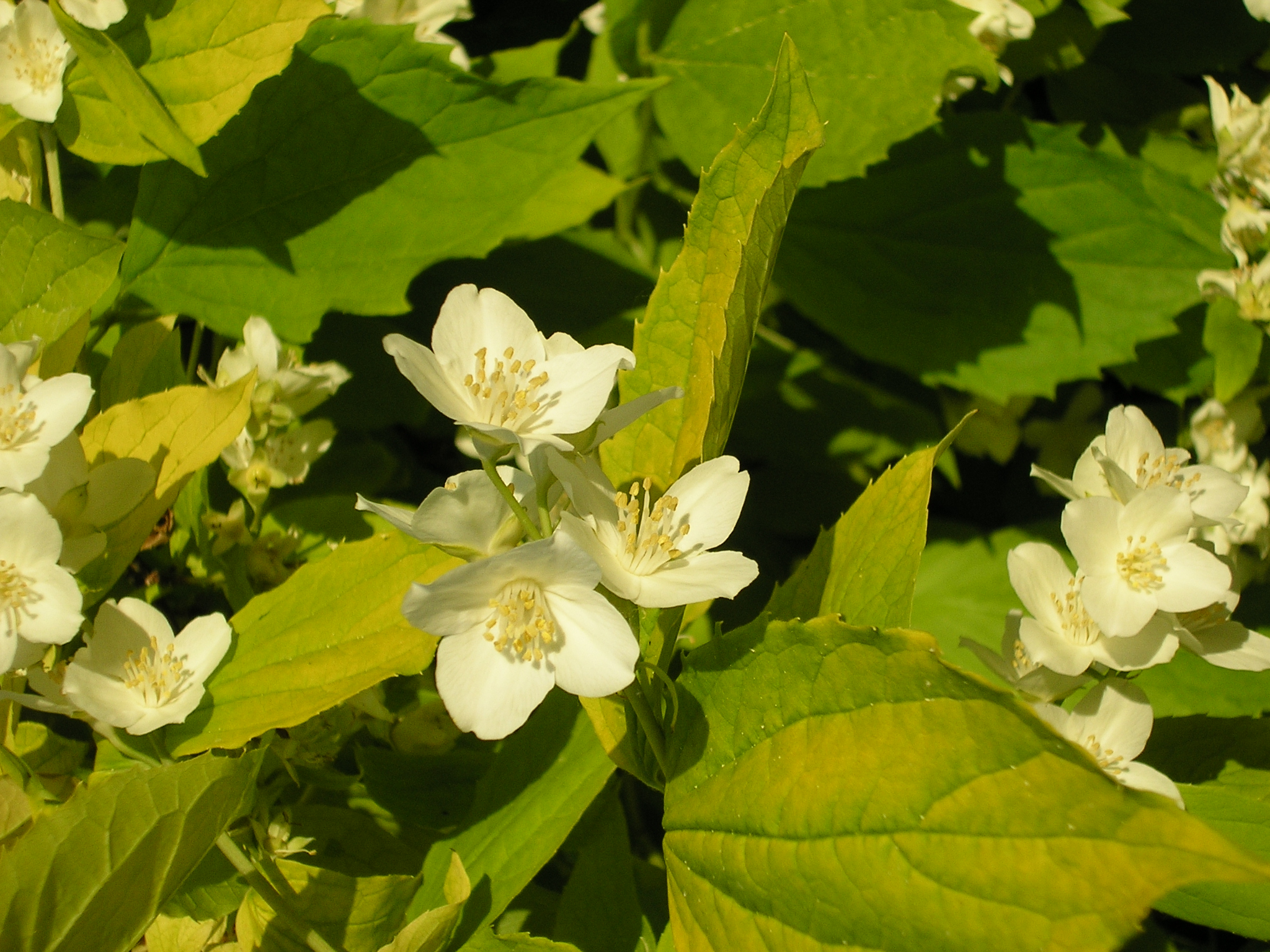 Philadelphus blossom